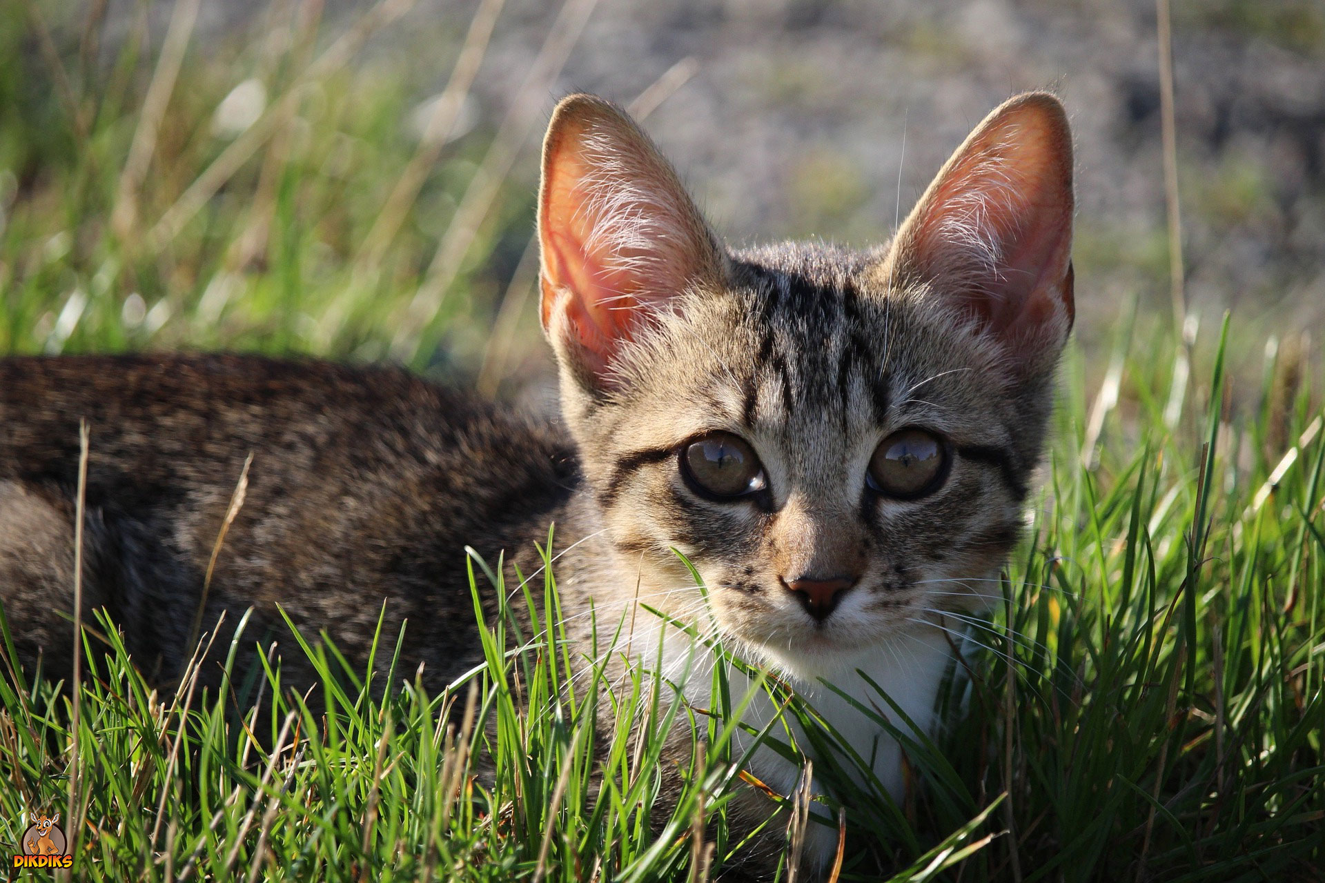 Kitten-Zahnwechsel