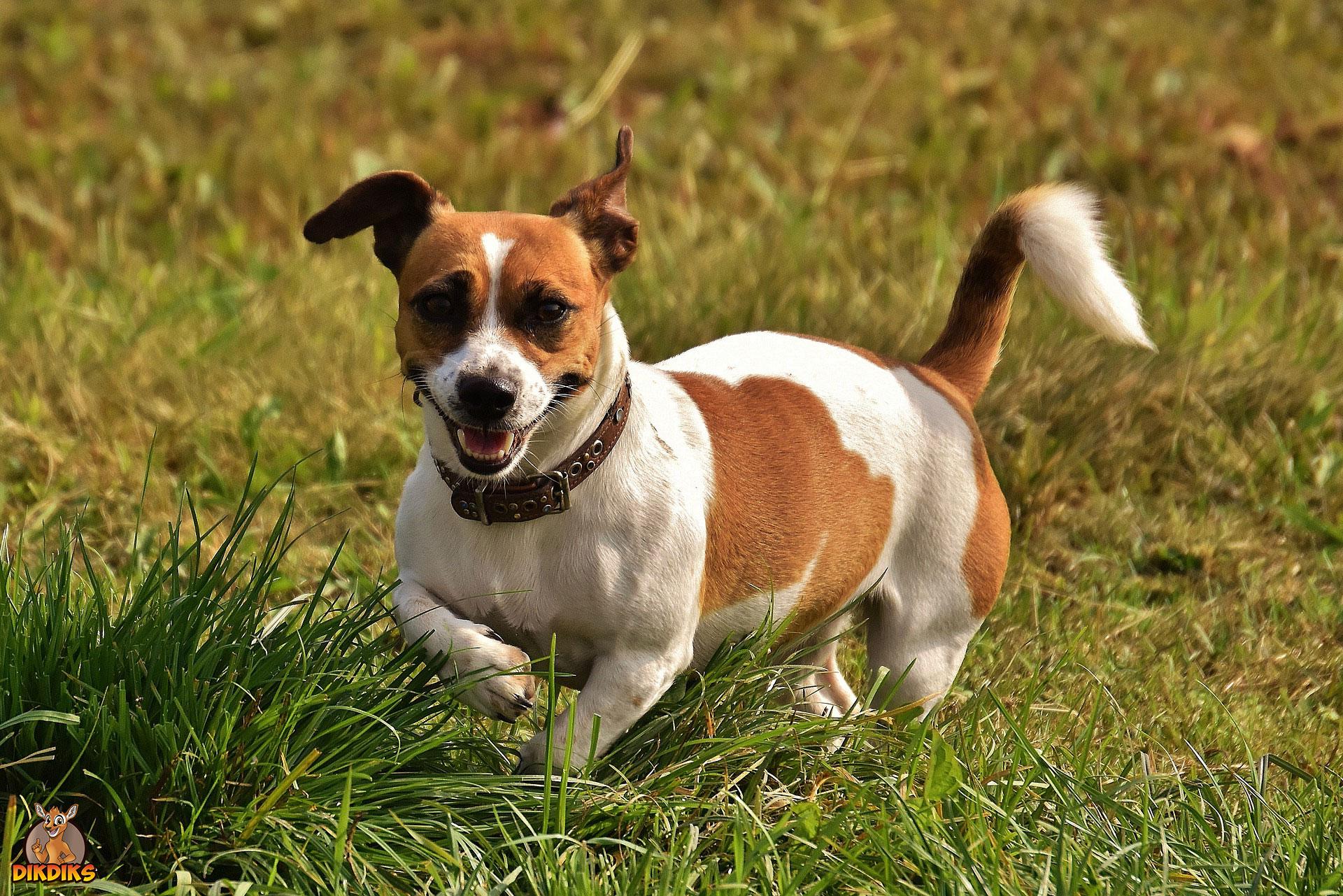 Jack-Russell-Terrier-Charakter