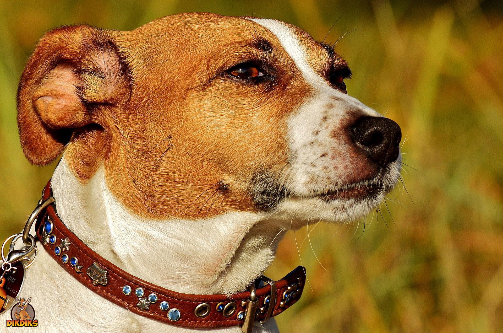 Jack-Russell-Terrier-Rassebeschreibung